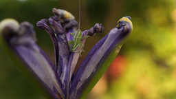 Withered Iris With Cricket On Yellow Background Footage