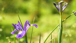 Blue Iris Flower In Spring Wind With Another Withered Iris Footage