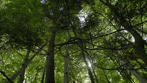 Looking Up At Tall Trees In A Forest. 4K UHD stock footage