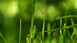 Grass With Morning Dew stock footage