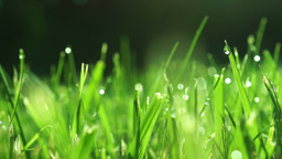 Grass With Morning Dew, Changing Focus Footage