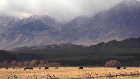 Livestock Cattle Graze Sierra Nevada Mountain Ranch Footage