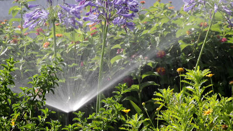 Agapanthus Flowerbed Irrigation Spray A stock footage