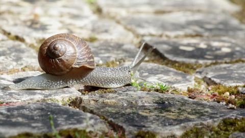 Comum Garden Snail crawling B 155s Footage