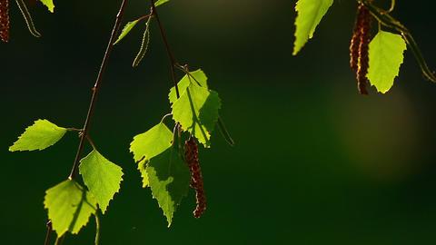 Birch catkin Footage