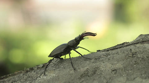 Stag Beetle Crawling On A Branch Of The Stick stock footage