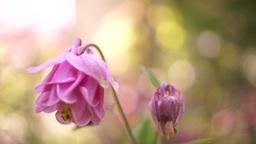 Pink Bell-Shaped Flowers(Aquilegia vulgaris or European Columbine)in Wind, Sound Footage