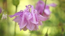 Pink Bell-Shaped Flowers(Aquilegia vulgaris or European Columbine)in Wind, Sound Footage