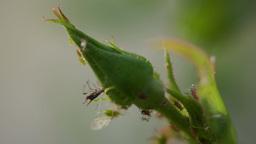 Rose Stalk (Rosebud)With Parasites, Macro, Wind Footage
