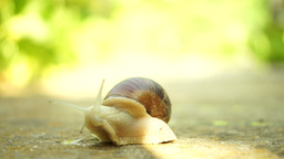 Snail Crawling In Nature, Retired For A Moment In Shell stock footage
