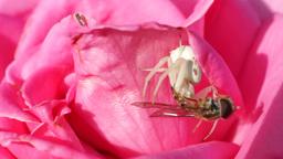 White Spider Devouring Its Prey Footage