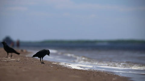 Ravens are walking on the sand Footage