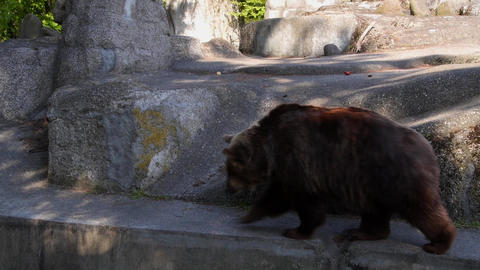 Bear Walking Near The Rocks stock footage