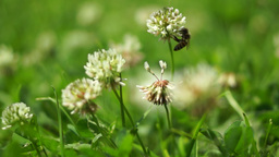 Bee Pollination On Grass Flowers Footage