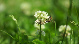 Bee In The Clover Field Flying From Flower To Fower Collecting Pollen Footage