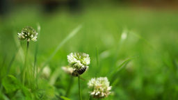 Bee Collecting Nectar From White Clover Flower Footage