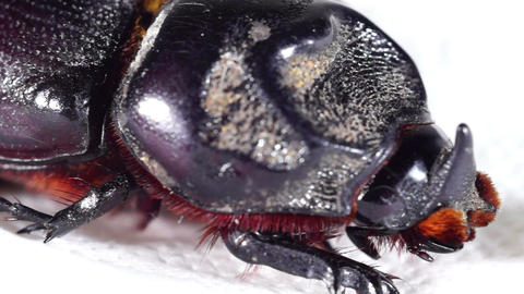 Close-up profile and details of a South East Asian horned stag beetle Footage