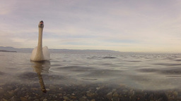Mute Swan (Cygnus Olor) In Water With Soft Evening Light stock footage