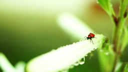 Red Bug With Water Drops On Unopened Regal Lily Flower Footage