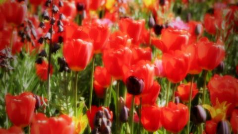 Tulips In Garden stock footage