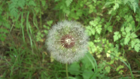 Close Up Of A Dandelion (plant) stock footage