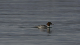 Common Merganser (Mergus merganser) swimming Footage