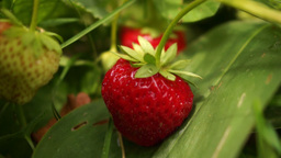 Strawberry After Rain stock footage