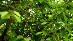 Cherry Tree With Ripe, Juicy Cherries Fruits stock footage