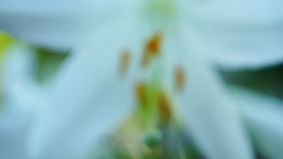 Lilium Regale (Regal Lily, Trumpet Lilies or King's Lily) In Garden With Blur Footage
