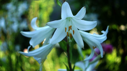 Lilium Regale (Regal Lily, Trumpet Lilies or King's Lily) In Garden Footage