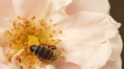 Hard-Working Bee In Pink Rose stock footage