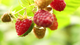 Small Branch With Ripe, Organic Raspberries Footage