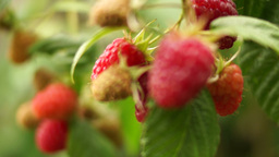 Small Branch With Ripe, Organic Raspberries, Changing Focus stock footage