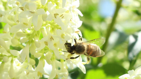 Bee Extracts Pollen Footage