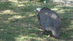 Guinea Fowl In The Yard stock footage