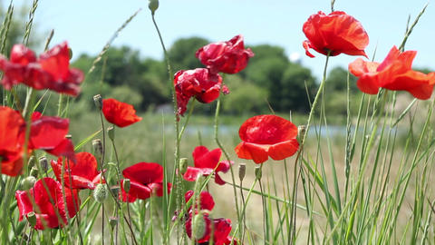 Poppies Flowers and Buds Footage