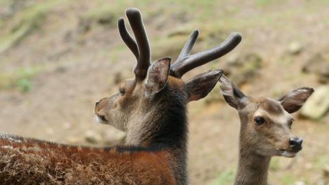 Couple of red deers pair grooming closeup Footage