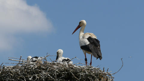 Young storks and adult stork in nest Footage