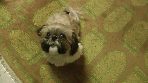 A cute funny colorful female shih tzu barks playfully Footage