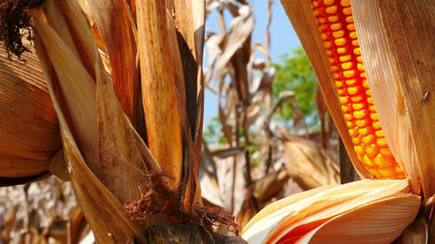 4K Video : Close Up Yellow Dry Corn On The Field, Tilt Up Camera stock footage