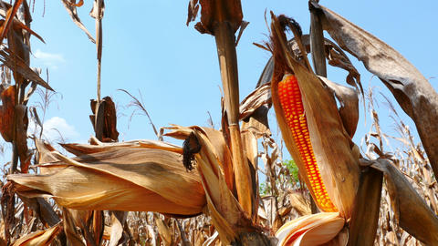 4K Video : Close up yellow dry corn on the field, Tilt up camera Footage
