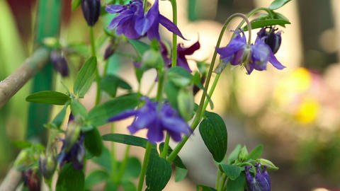 Aquilegia flowers Footage