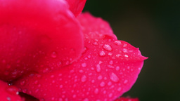 4K Ultra HD : Close up red rose with dew drop Live Action