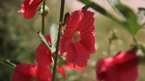 Hibiscus Flower From Butterfly Valley Footage