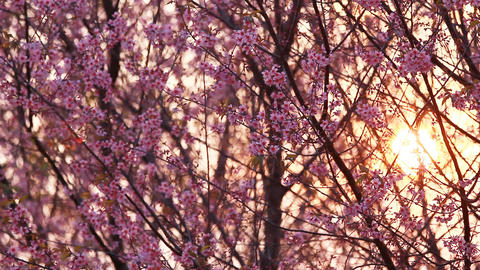 Sunset with branch of pink sakura blossoms at Phu Lom Lo mountain, Thailand ビデオ