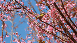 Little bird on branch of pink sakura blossoms at Phu Lom Lo mountain, Thailand 영상물