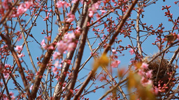 Bird nest on branch of pink sakura blossoms at Phu Lom Lo mountain, Thailand Live Action