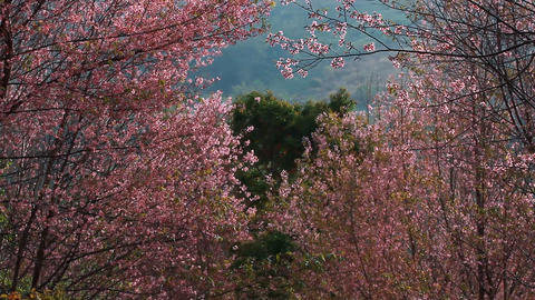 Forest of pink sakura blossoms at Phu Lom Lo mountain, Thailand : tilt up camera Footage