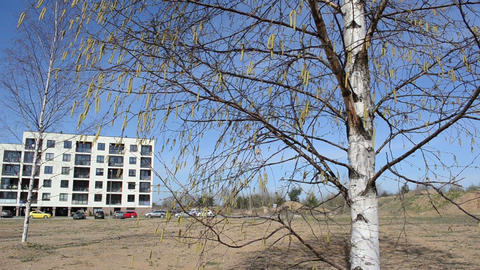 yellow birch buds sways on windy day spring Footage
