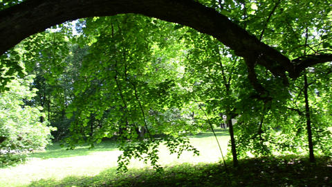 view old lime tree branches many green leaf beautiful sunlight Footage